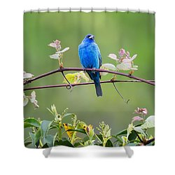 Indigo Bunting Perched Square Shower Curtain