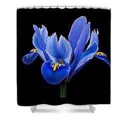 Iris Reticulata, Black Background Shower Curtain