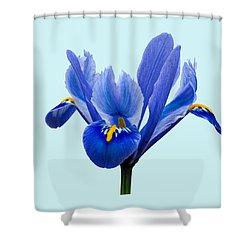Iris Reticulata Blue Background Shower Curtain