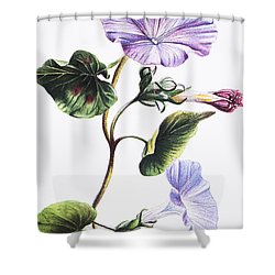 Isabella Sinclair - Pohue Shower Curtain by Hawaiian Legacy Archive - Printscapes