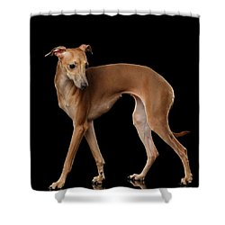Italian Greyhound Dog Standing  Isolated Shower Curtain by Sergey Taran