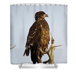 Juvenile Bald Eagle 1 Shower Curtain