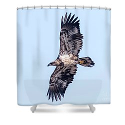 Juvenile Bald Eagle 2017 Shower Curtain by Ricky L Jones