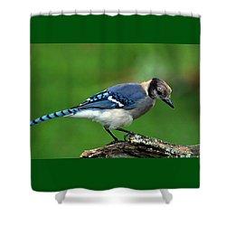 Juvenile Blue Jay  Shower Curtain