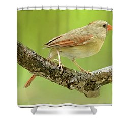 Juvenile, Female Cardinal, Animal Portrait Shower Curtain