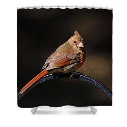 Juvenile Male Cardinal Shower Curtain