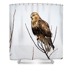 Juvenile Rough-legged Hawk  Shower Curtain by Ricky L Jones