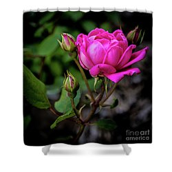 Knockout Rose Shower Curtain