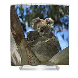 Koala Phascolarctos Cinereus Mother Shower Curtain