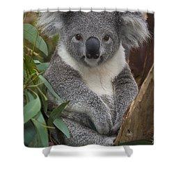 Koala Phascolarctos Cinereus Shower Curtain by Zssd