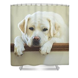 Labrador Retriever On The Stairs Shower Curtain by Diane Diederich
