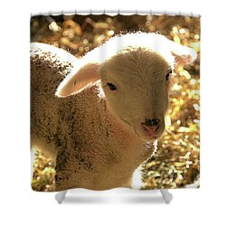 Lamb All Aglow Shower Curtain