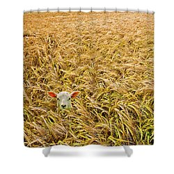 Lamb With Barley Shower Curtain by Meirion Matthias