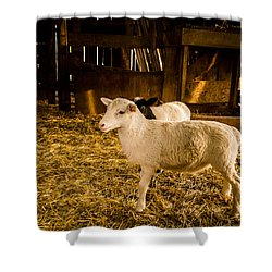 Shower Curtain featuring the photograph Lambs by Jay Stockhaus