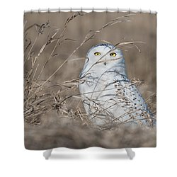 Last Year Of The Snowy Owls... Shower Curtain