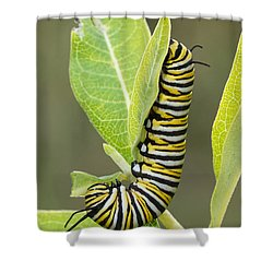 Late Season Monarch Shower Curtain
