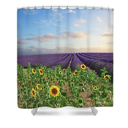 Lavender And Sunflower Flowers Field Shower Curtain by Anastasy Yarmolovich