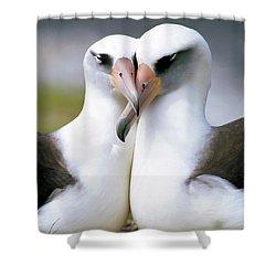 Laysan Albatross Phoebastria Shower Curtain