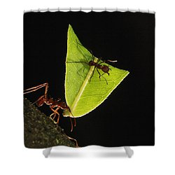 Leafcutter Ant Atta Sp Carrying Leaf Shower Curtain by Cyril Ruoso