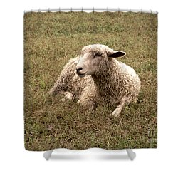 Leicester Sheep In The Dewy Grass Shower Curtain