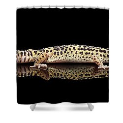 Leopard Gecko Eublepharis Macularius Isolated On Black Background Shower Curtain