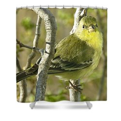 Lesser Goldfinch 1 Shower Curtain