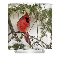 Shower Curtain featuring the photograph Leucistic Northern Cardinal by Everet Regal