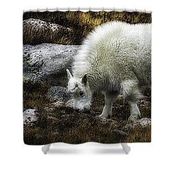 Lil' Kid Goat  Shower Curtain
