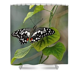 Shower Curtain featuring the photograph Lime/chequered Swallowtail Butterfly by Paul Gulliver