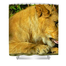 Lion Cub - What A Yummy Snack Shower Curtain by Emmy Marie Vickers