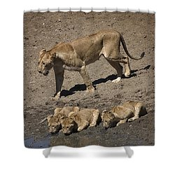Lion Cubs And Mom Get A Drink Shower Curtain by Darcy Michaelchuk