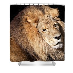 Lion Highlights Shower Curtain by Kenneth Albin