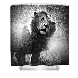 Lion Shaking Off Water Shower Curtain by Johan Swanepoel