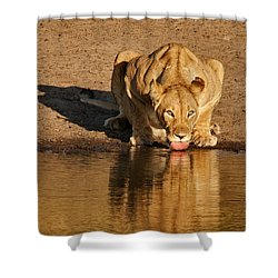 Lioness Drinking Shower Curtain