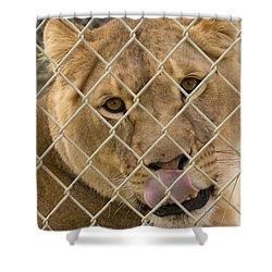 Lioness Licks Shower Curtain
