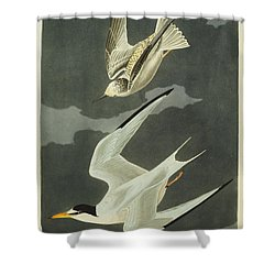 Little Tern Shower Curtain by John James Audubon