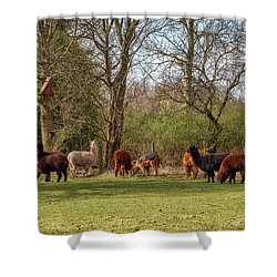 Shower Curtain featuring the photograph Alpacas In Scotland by Jeremy Lavender Photography