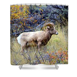 Long Horns Sheep Shower Curtain