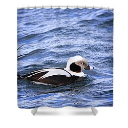 Long-tailed Duck 2 Shower Curtain by Gary Hall