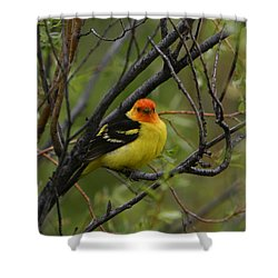 Looking At You - Western Tanager Shower Curtain