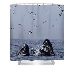 Lunge Feeding Humpback Whales Shower Curtain
