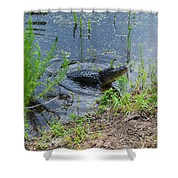Lunging Bull Gator Shower Curtain