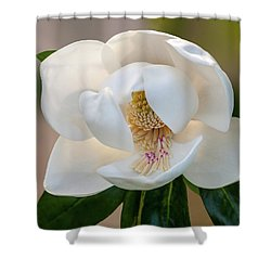 Magnolia Bloom Shower Curtain by Carolyn Dalessandro
