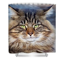 Maine Coon I Shower Curtain by Jai Johnson