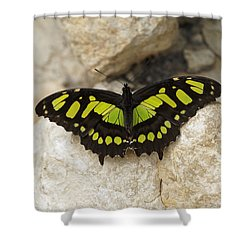 Shower Curtain featuring the photograph Malachite Butterfly - Siproeta Stelenes by Paul Gulliver