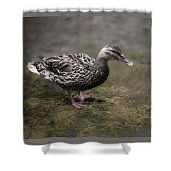 Malard,duckling Shower Curtain