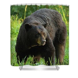 Shower Curtain featuring the photograph Male Black Bear In Late Light by Coby Cooper