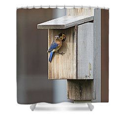 Male Bluebird And Babies Shower Curtain