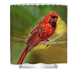 Male Cardinal Headshot  Shower Curtain