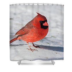 Male Cardinal In Winter Shower Curtain by Kenneth Cole